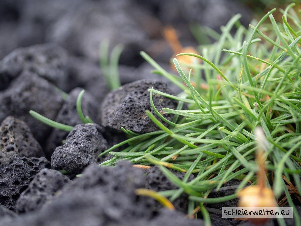 Grass auf Vulkangestein